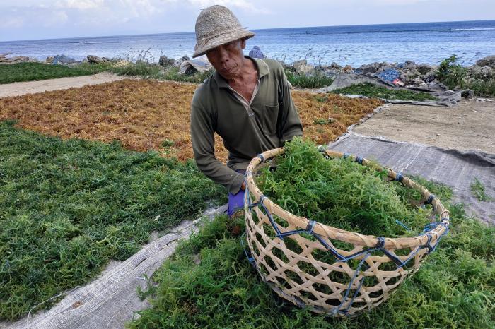 Seaweed in Indonesia