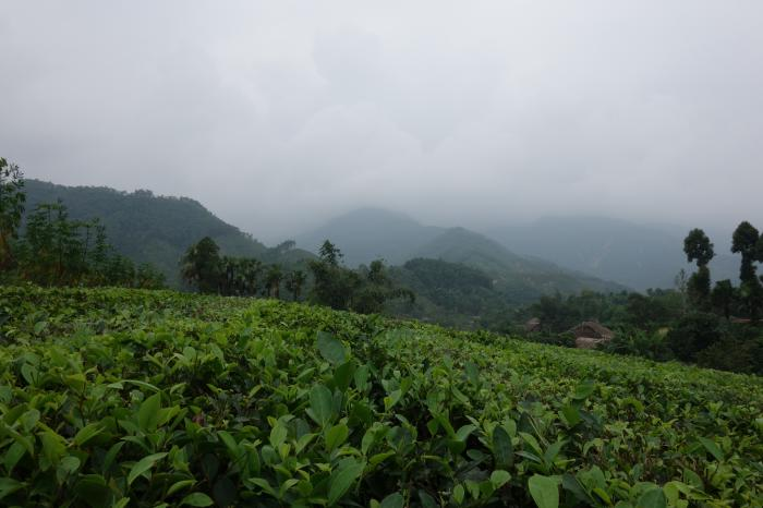 Rikolto and Rainforest Alliance partner up for the sustainable management of tea landscapes in Vietnam