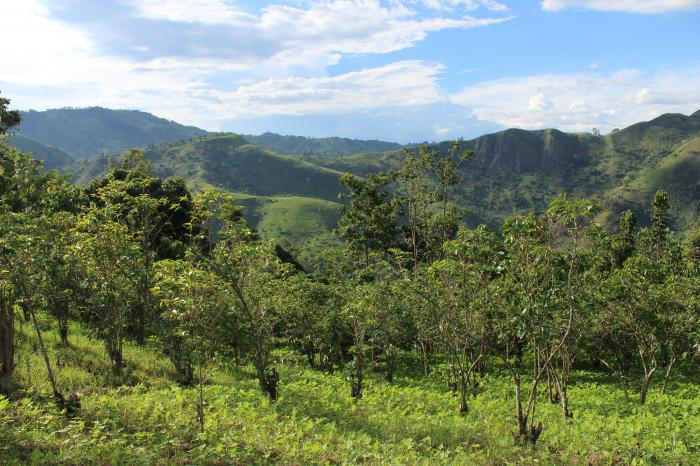 La renaissance du café arabica à l'Est de la RDC