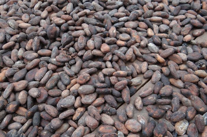Cacao in Olancho, Honduras