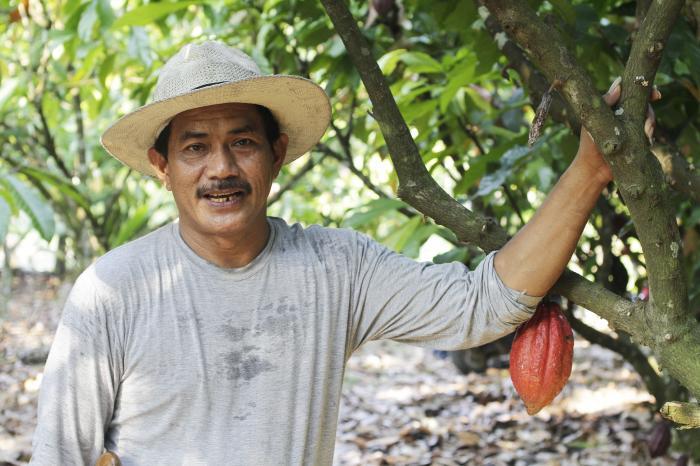 Cocoa in Sulawesi, Indonesia