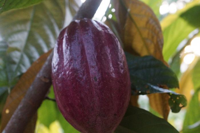 Cacao uit Matiguás, Nicaragua