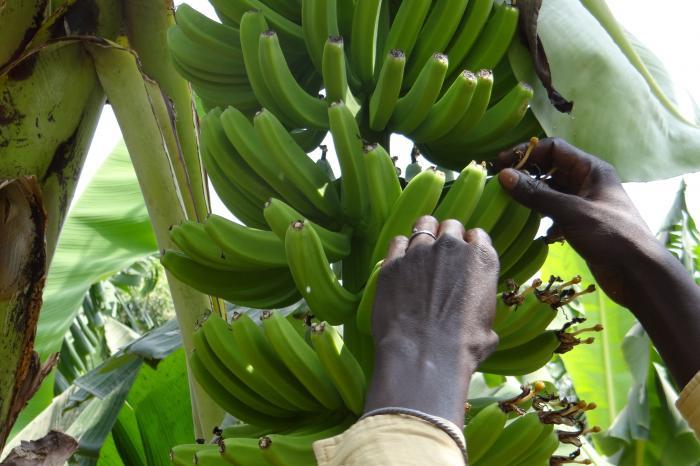 Bananen uit Senegal