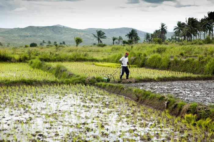 Congolese rijstboeren veroveren de lokale markt