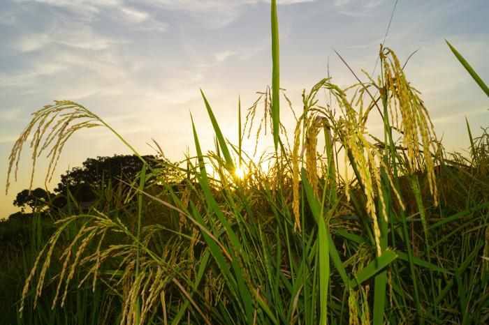 Rice farmers' organisations access a significant share of Mali's institutional markets