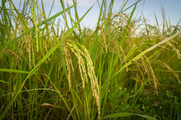 Producing quality rice for Burkina Faso's markets