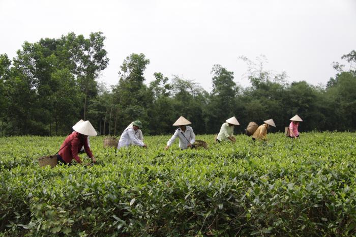 Chè ở xã Lương Sơn, huyện Yên Lập tỉnh Phú Thọ