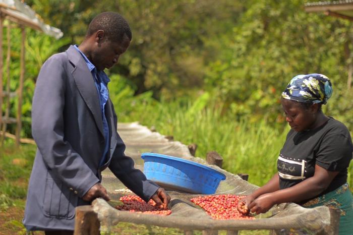 De revival van de Congolese koffie in Kivu en Ituri