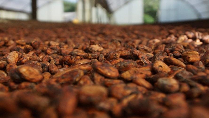 Cacao Climaticamente Inteligente