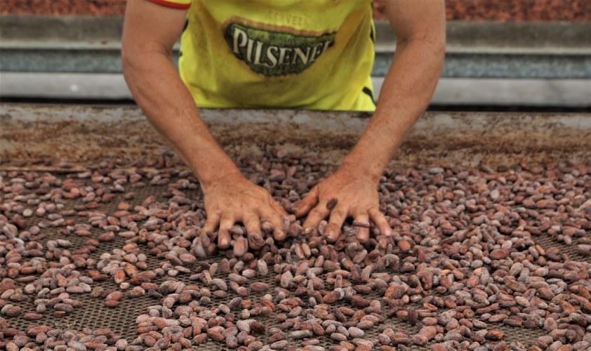 Secando granos de cacao fermentados en Fortaleza del Valle.