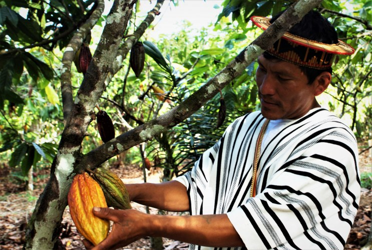 CAC Pangoa farmer cutting a cocoa pod