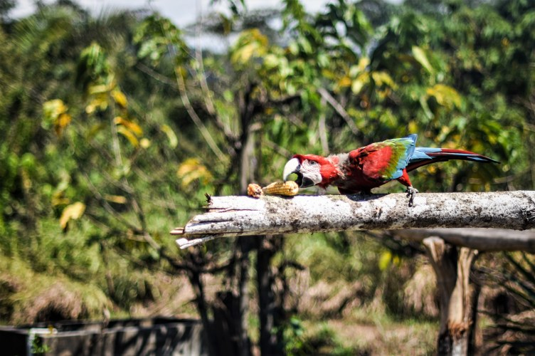 Cac Pangoa parrot