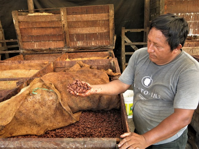 Cac Pangoa Celmer Reyes showing fermented cocoa beans