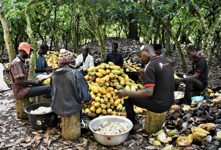 KK Ama Anto neghbours harvest and cut cocoa pods
