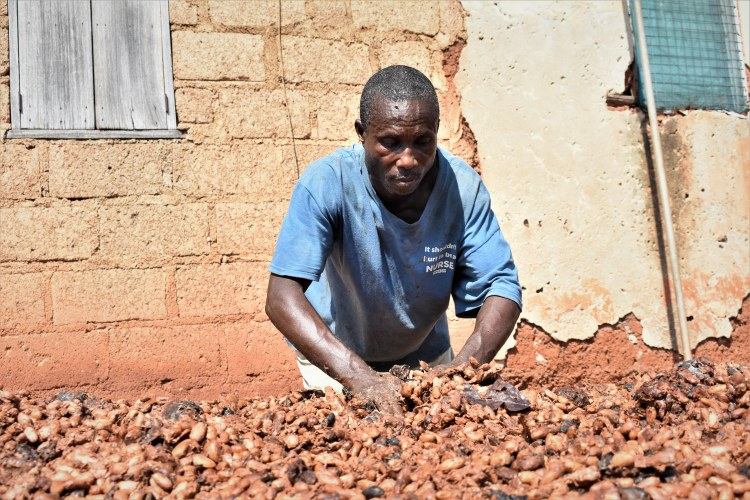 KK drying fermented cocoa beans