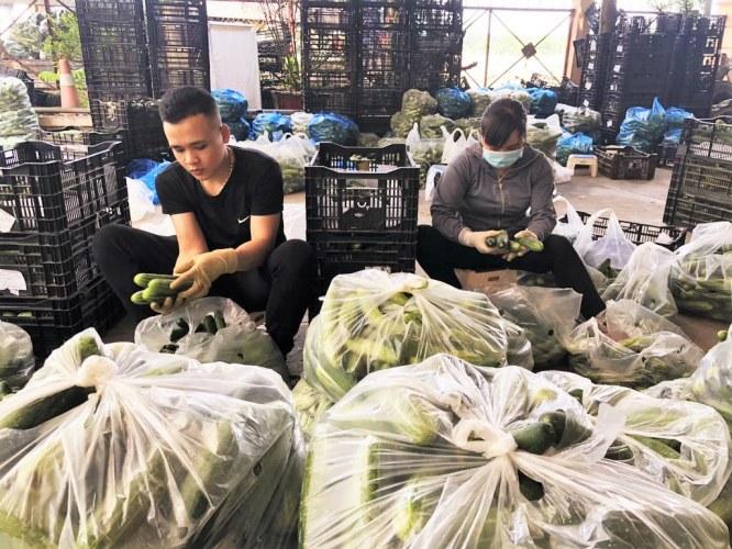 An Hoa Cooperative farmers packing cucumbers