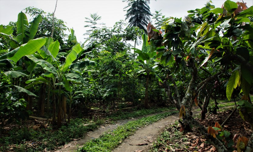 El camino que atraviesa la parcela de cacao de UNOCACE.