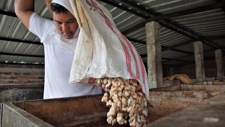 Un trabajador de Fortaleza del Valle vaciando una bolsa de granos de caca en la caja de fermentado.
