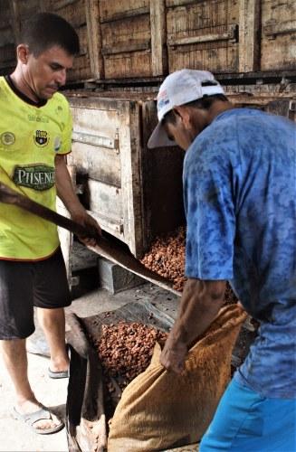 Llenando un saco con granos de cacao fermentados en Fortaleza del Valle.