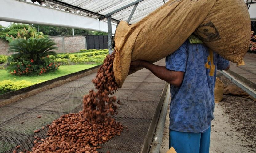 Trabajador vaciando una bolsa de granos de cacao fermentados.