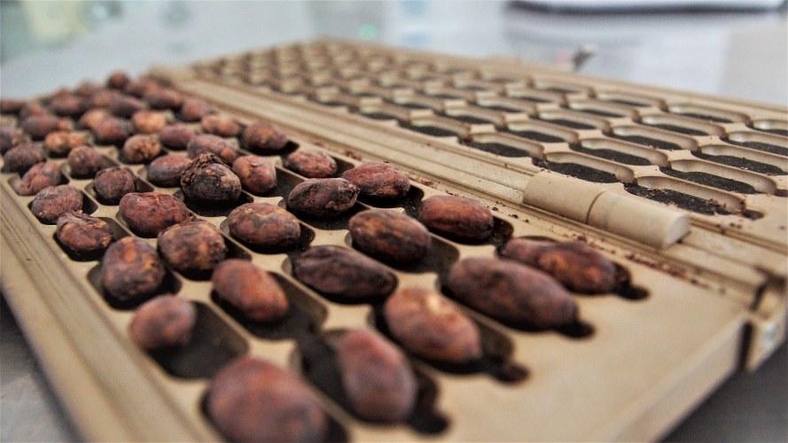 Cac Pangoa cocoa bean quality tester.